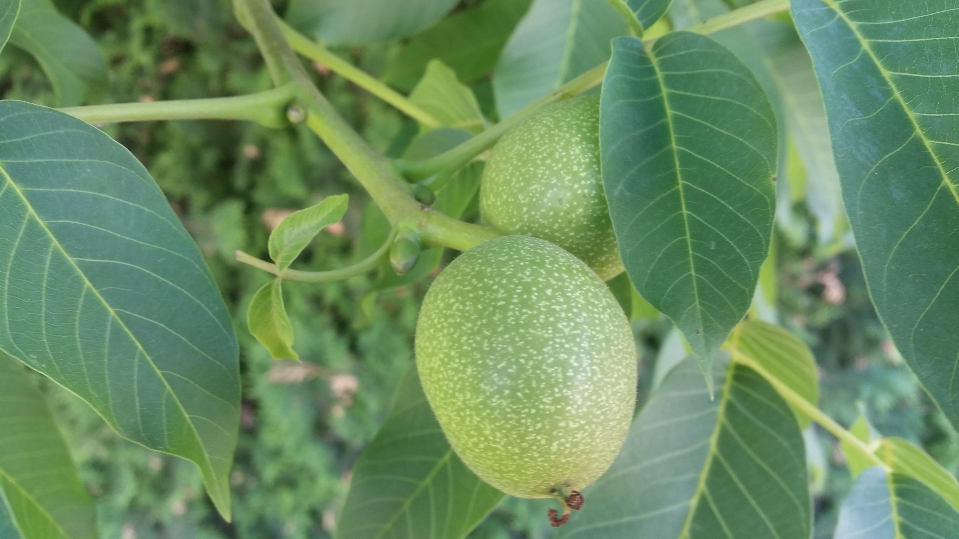 Riešutmedžio vaisiai