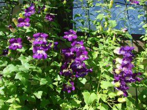 Vijoklinė gėlė azarina