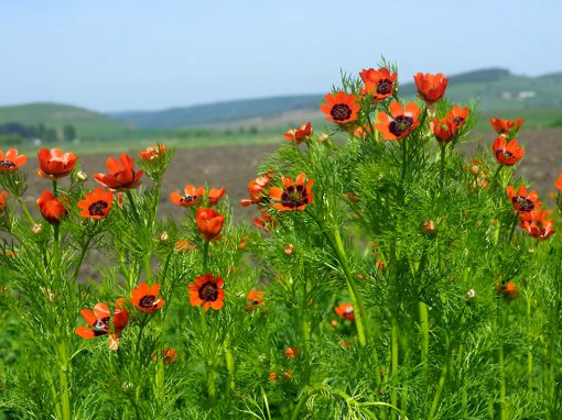 Gėlės nuotrauka. (Pavadinimas: Pheasant's Eye)