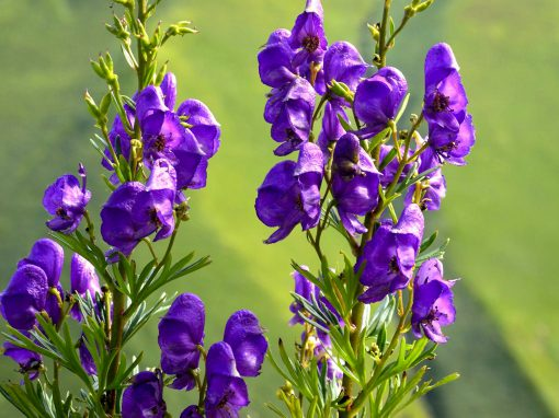 Gėlės nuotrauka. (Pavadinimas: Kurpelė)