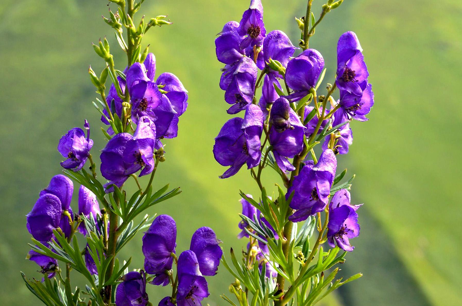 Gėlė kurpelė