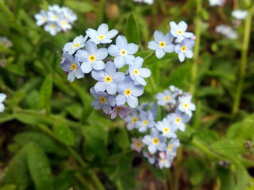 Gėlės nuotrauka. (Pavadinimas: Neužmirštuolė)