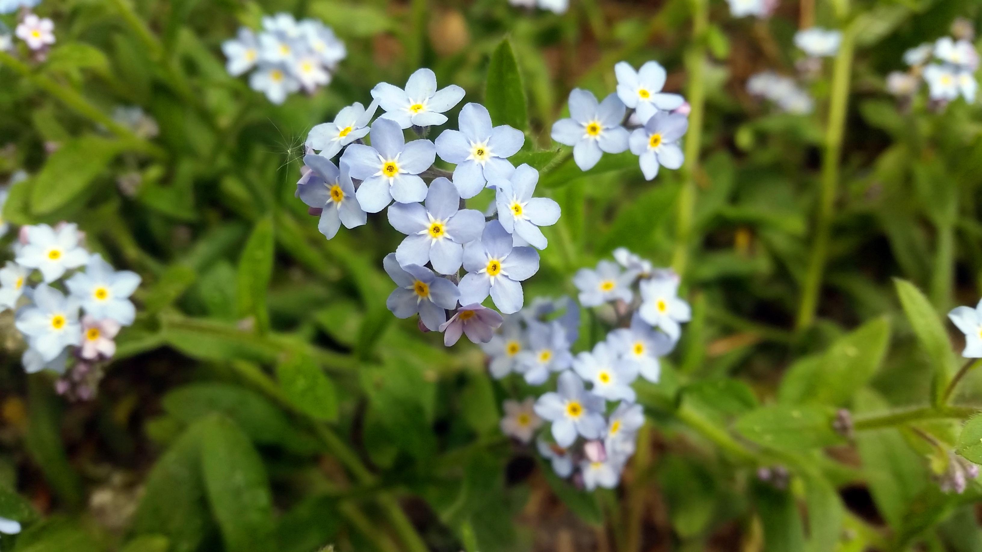 Gėlė neužmirštuolė
