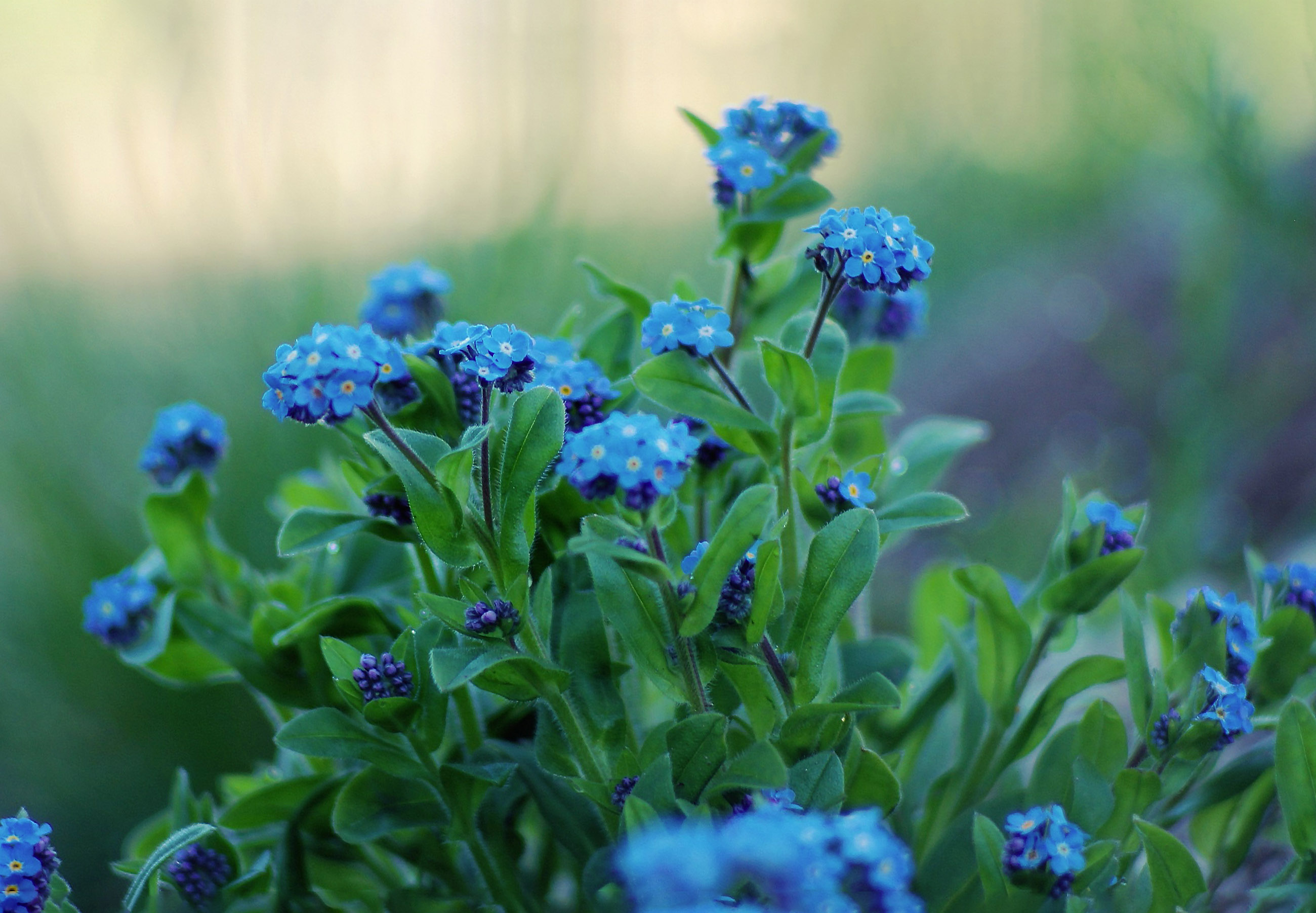 Gėlė neužmirštuolė (hibridinė)