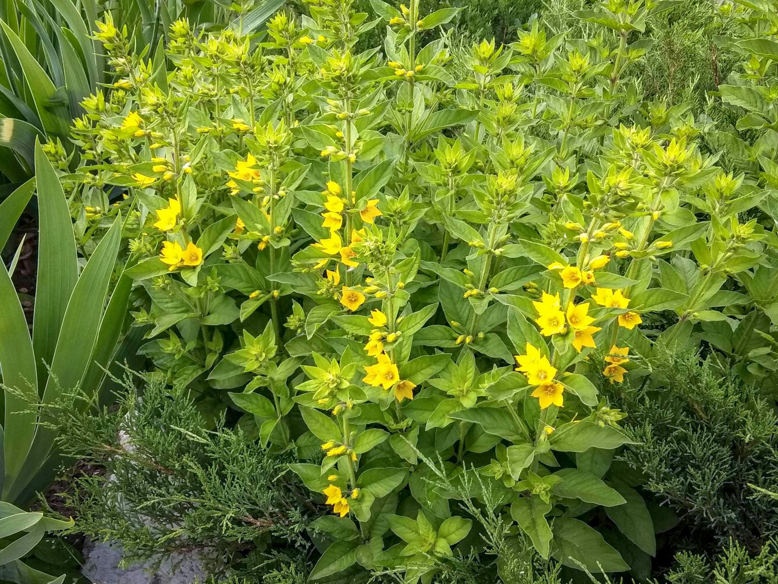 Geltonai žydinčios gėlės  - šilingės