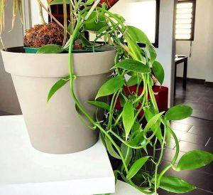 Kambarinis vanilės augalas