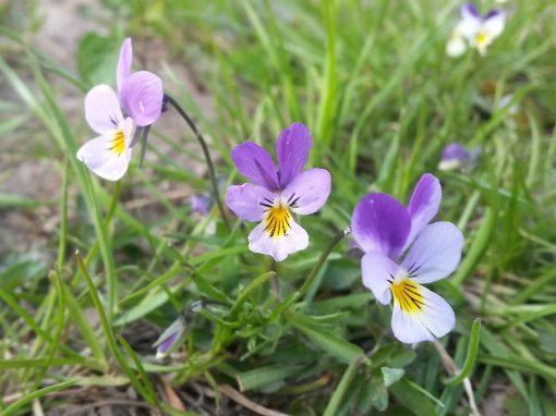 Gėlės nuotrauka. (Pavadinimas: Dirvinė našlaitė)