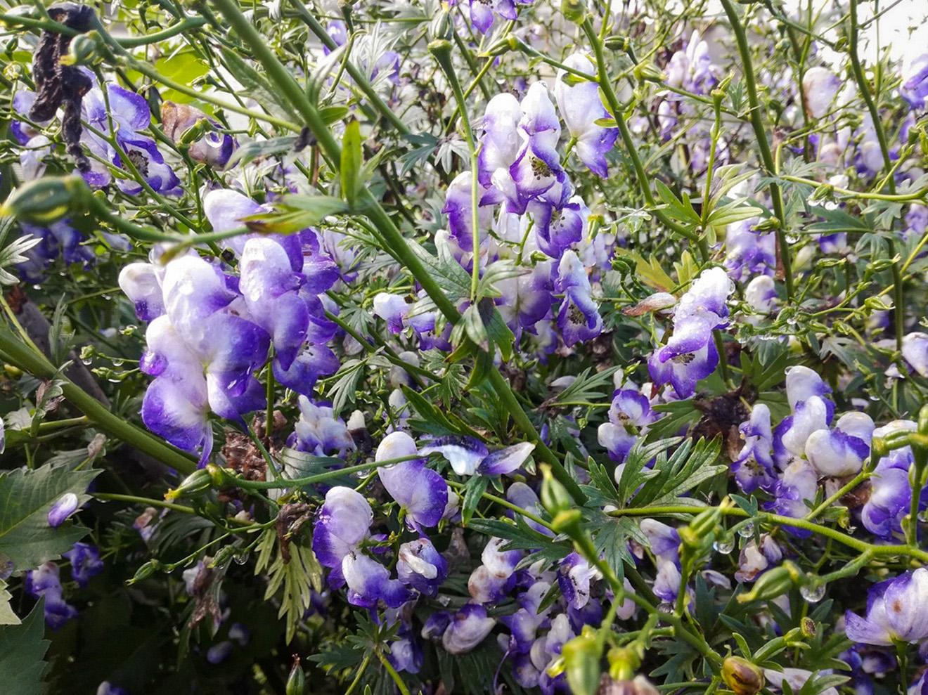 Margoji kurpelė 'Aconitum variegatum'