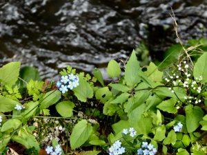 Neužmirštuolės auga prie upės