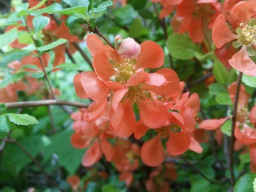 Gėlės nuotrauka. (Pavadinimas: Svarainis)