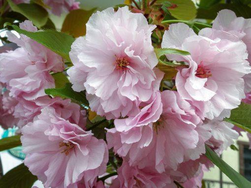 Gėlės nuotrauka. (Pavadinimas: Triskiautis migdolas)