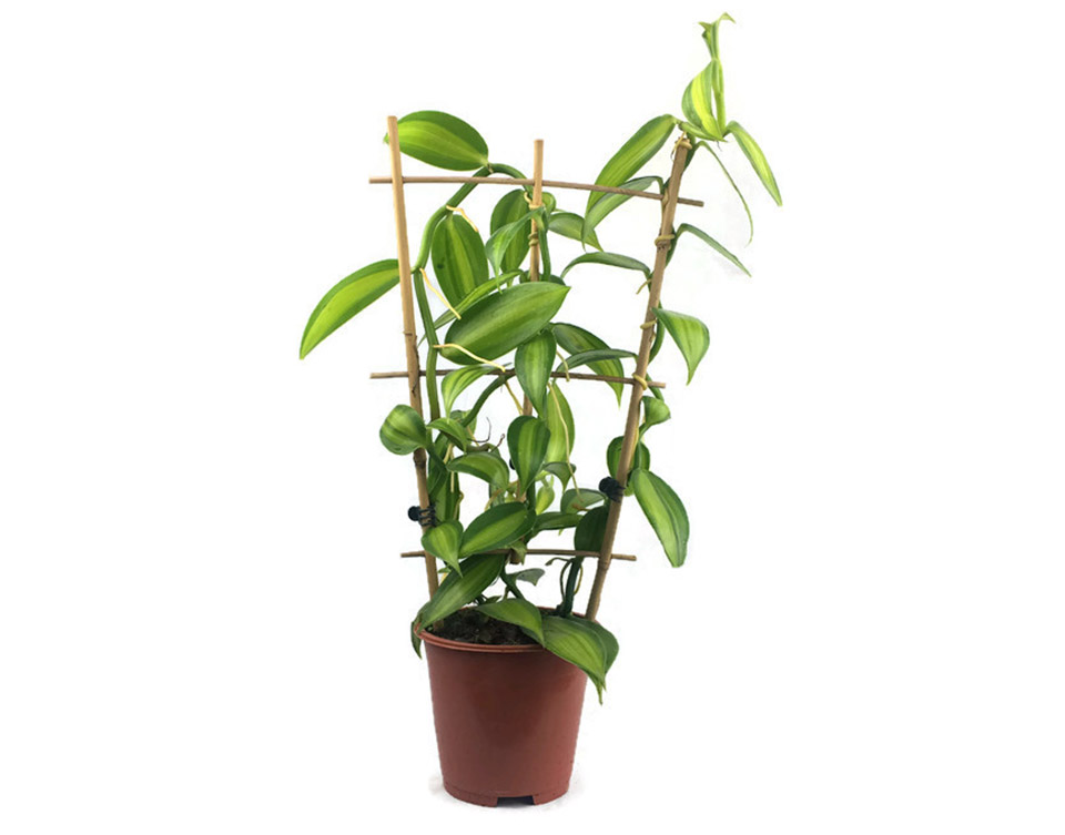 Vanilės augalas vazone (vanilla planifolia)
