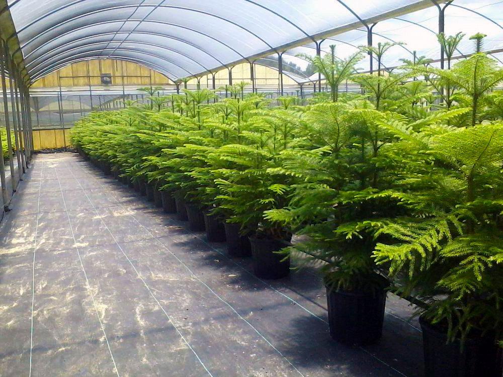 Araukarijų auginimas lietuvoje