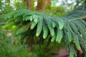 augalas araucaria excelsa