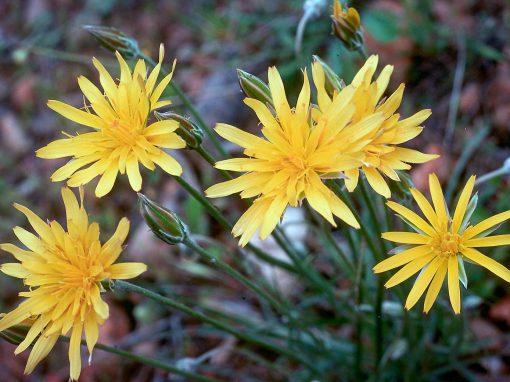 Gėlės nuotrauka. (Pavadinimas: Gelteklė)