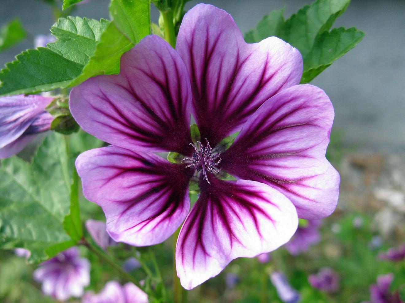 Gėlė Malva