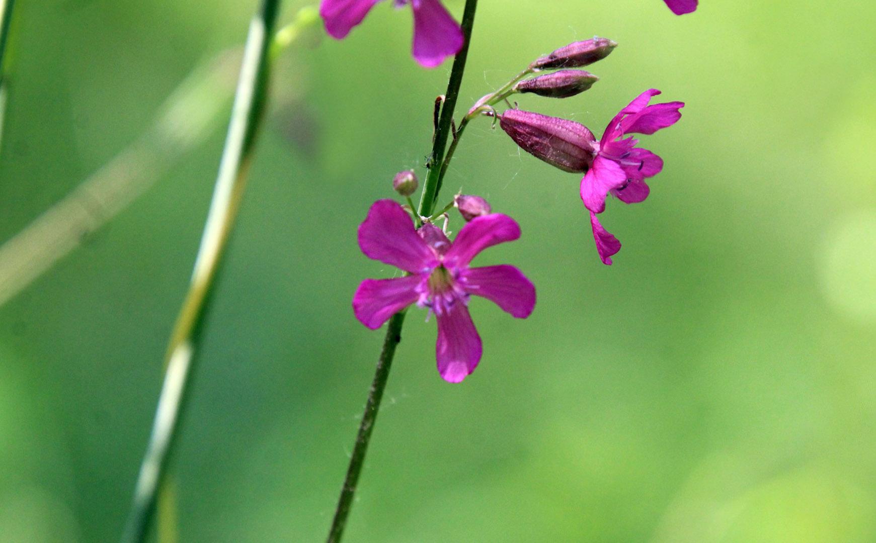 Gėlė smaliukė