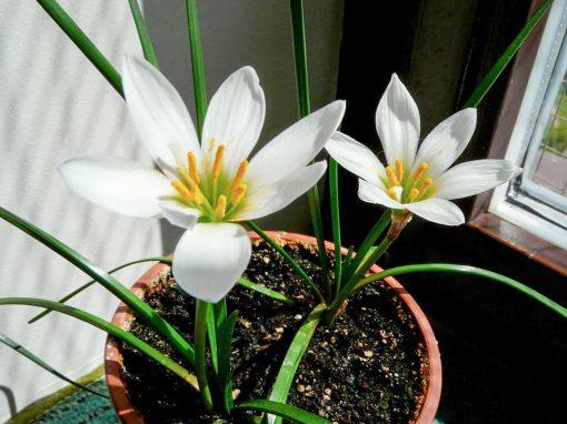 Gėlės nuotrauka. (Pavadinimas: Zefyrantas)