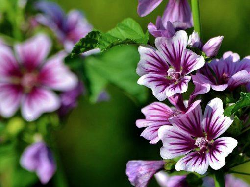 Gėlės nuotrauka. (Pavadinimas: Miškinė Dedešva)