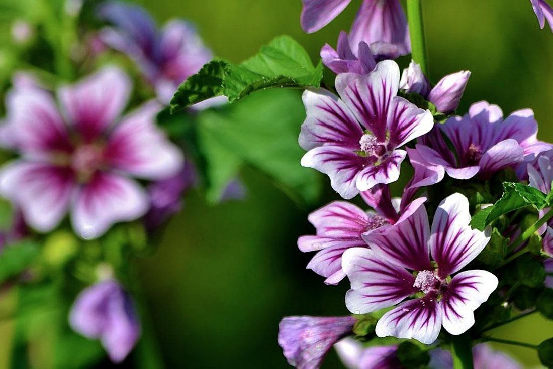 Gėlė Dedešva (Malva)