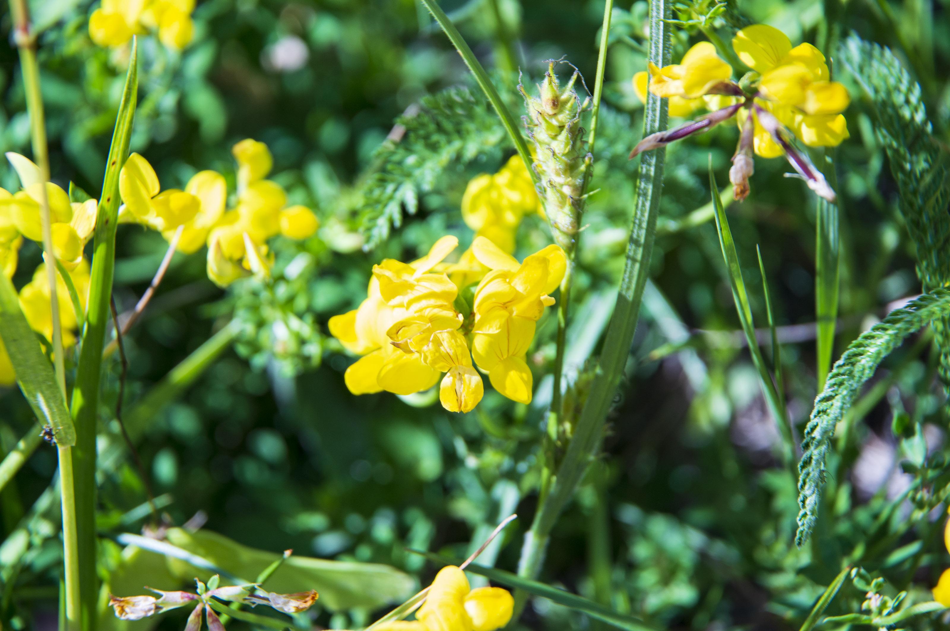 Gėlės garždeniai