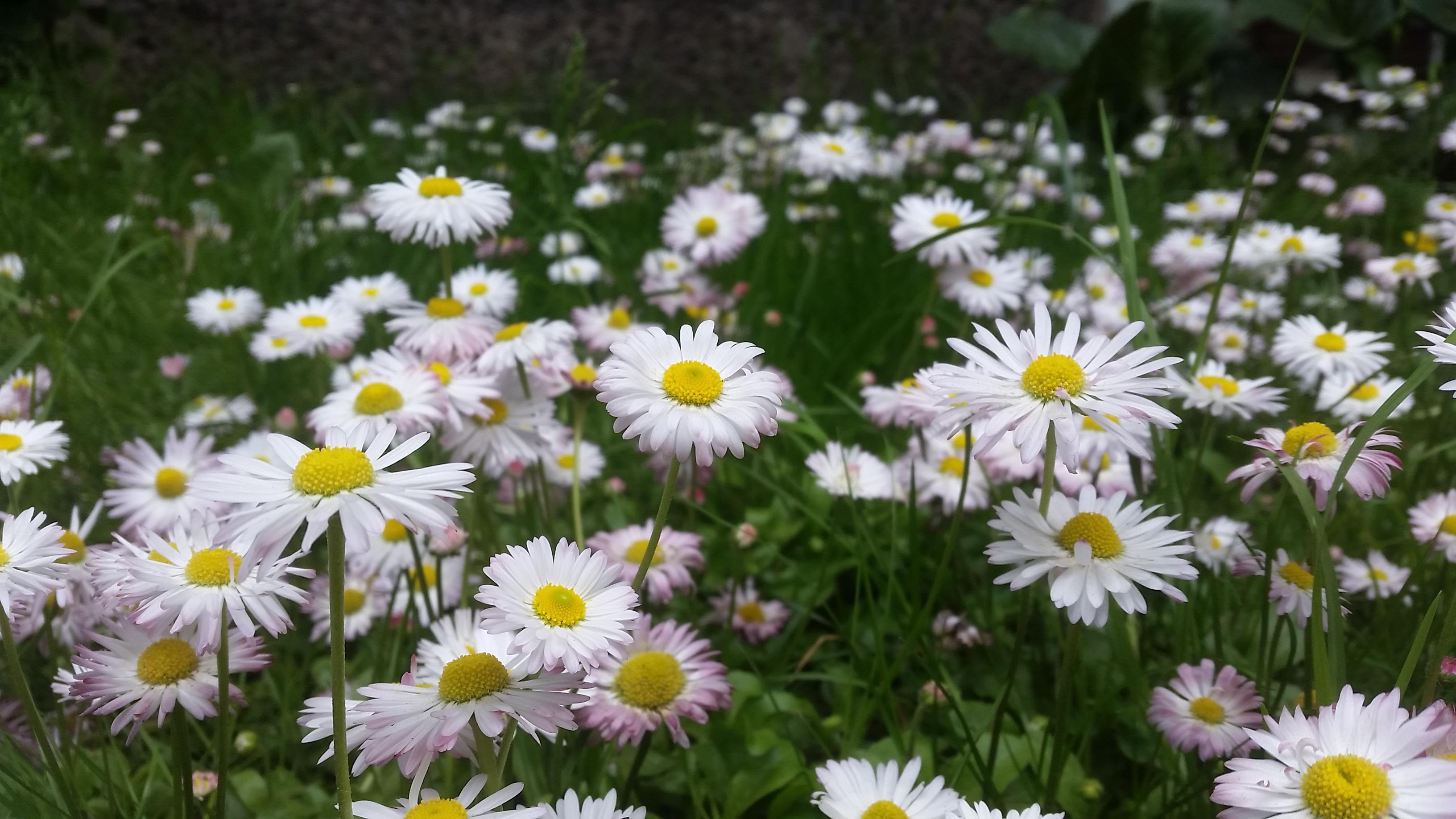 Gėlės saulutės