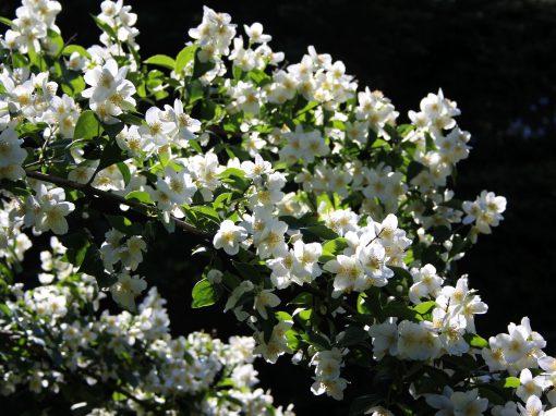 Gėlės nuotrauka. (Pavadinimas: Jazminas)