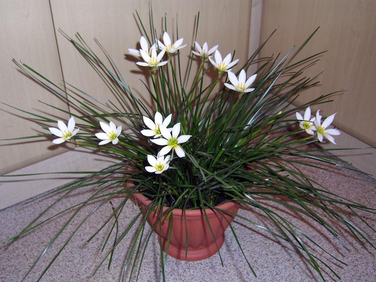 Kambarinė gėlė zefyrantas