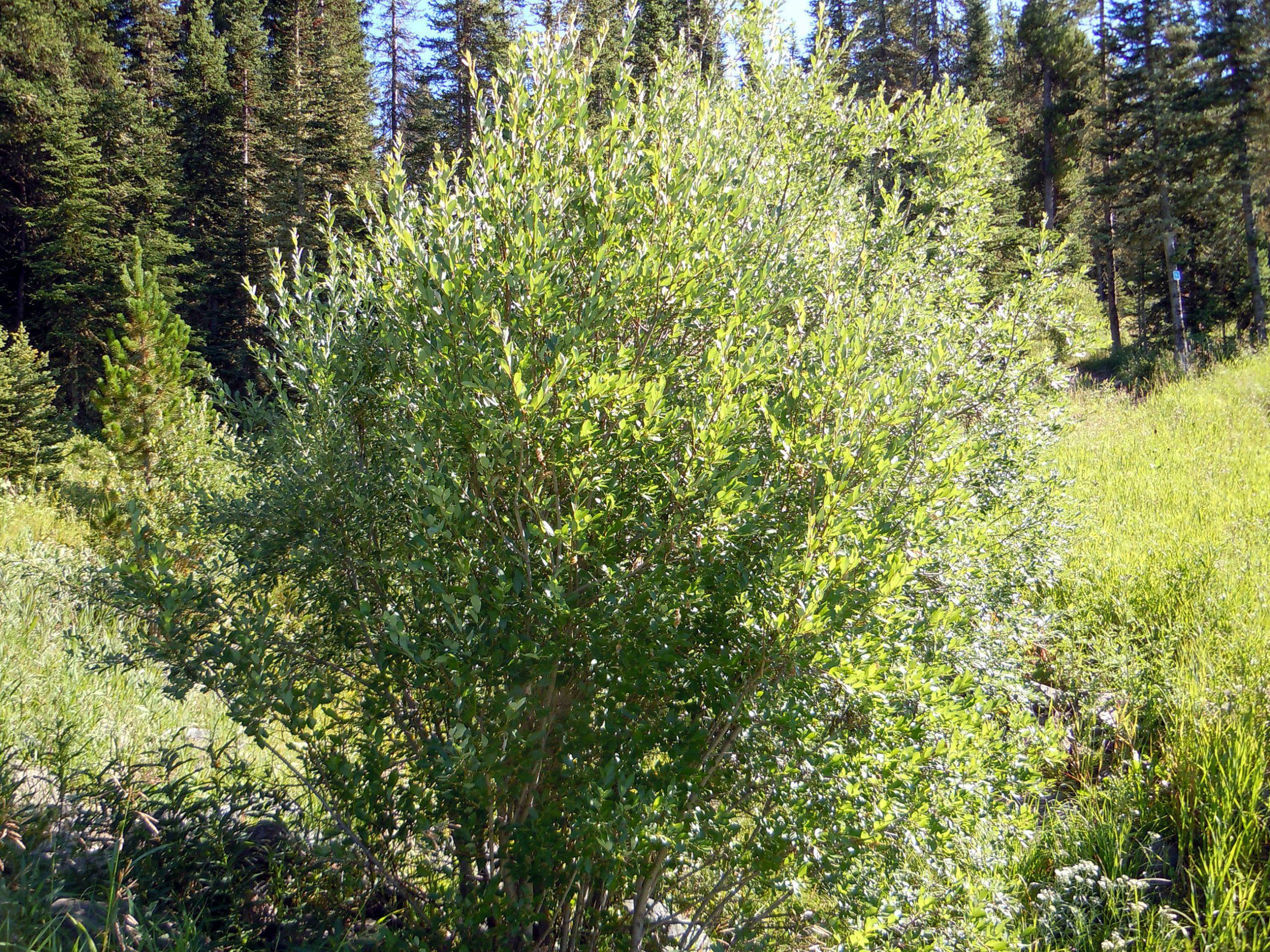 Karklo krūmas (Salix)