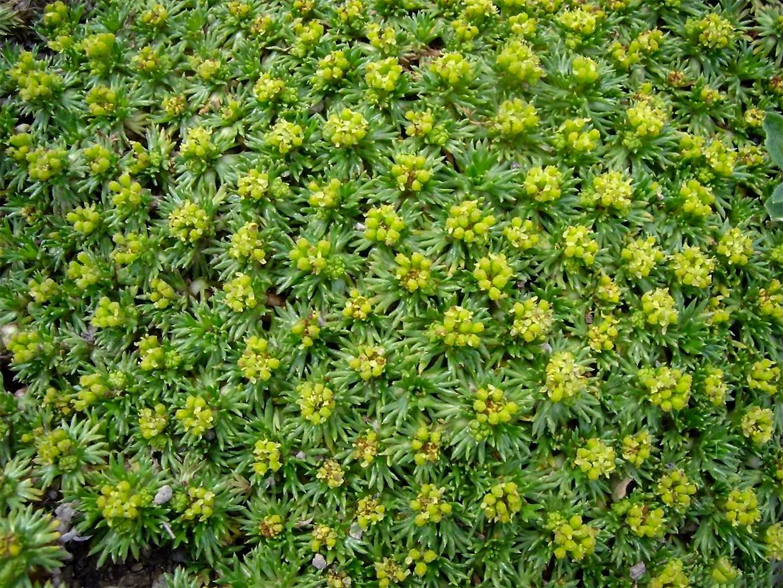 Kiliminis augalas azorelė