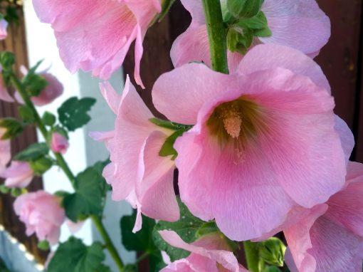 Gėlės nuotrauka. (Pavadinimas: Piliarožė)
