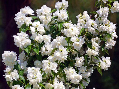 Gėlės nuotrauka. (Pavadinimas: Jazminas Schneesturm)