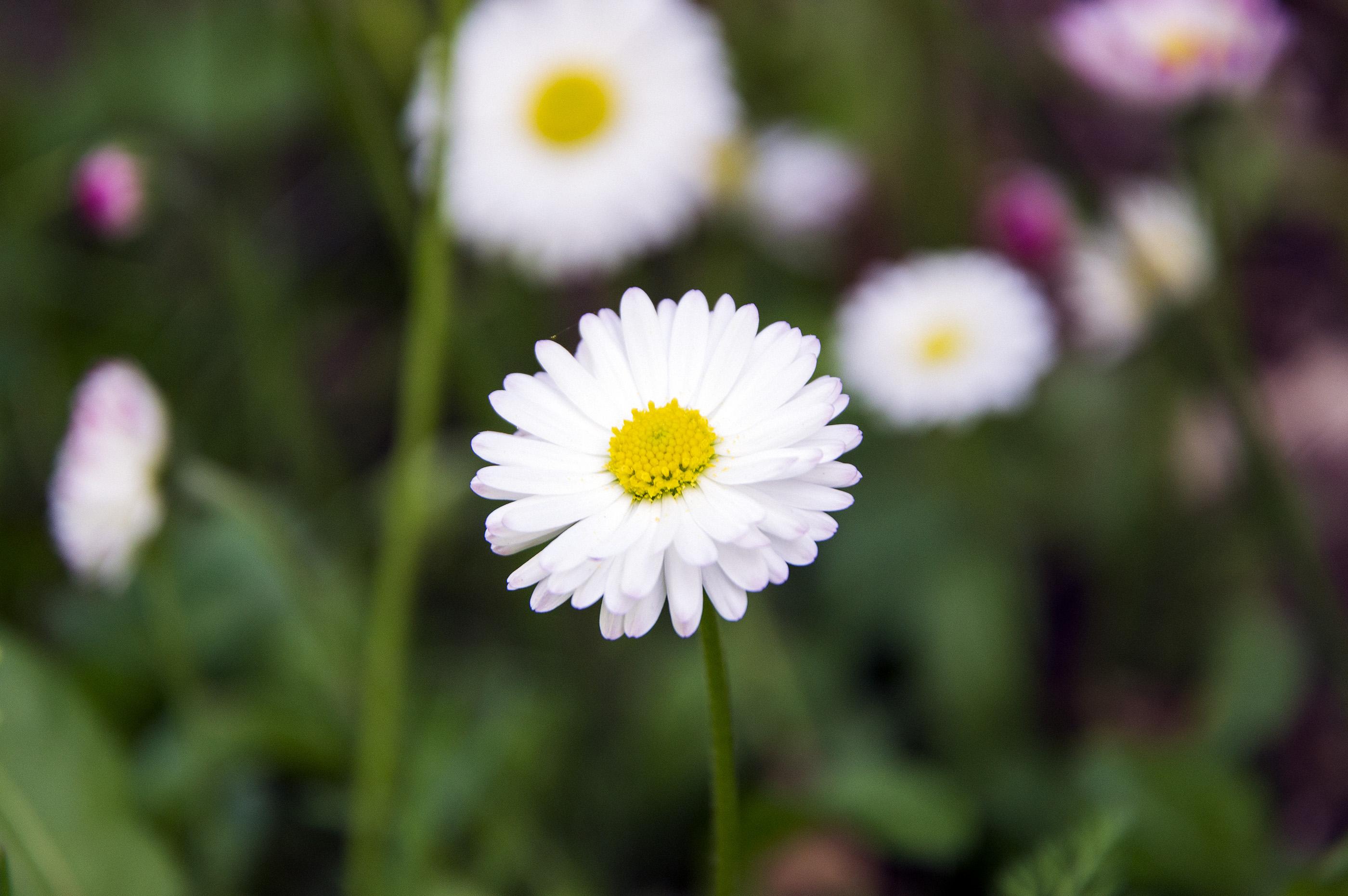 Saulutė - lauko gėlė