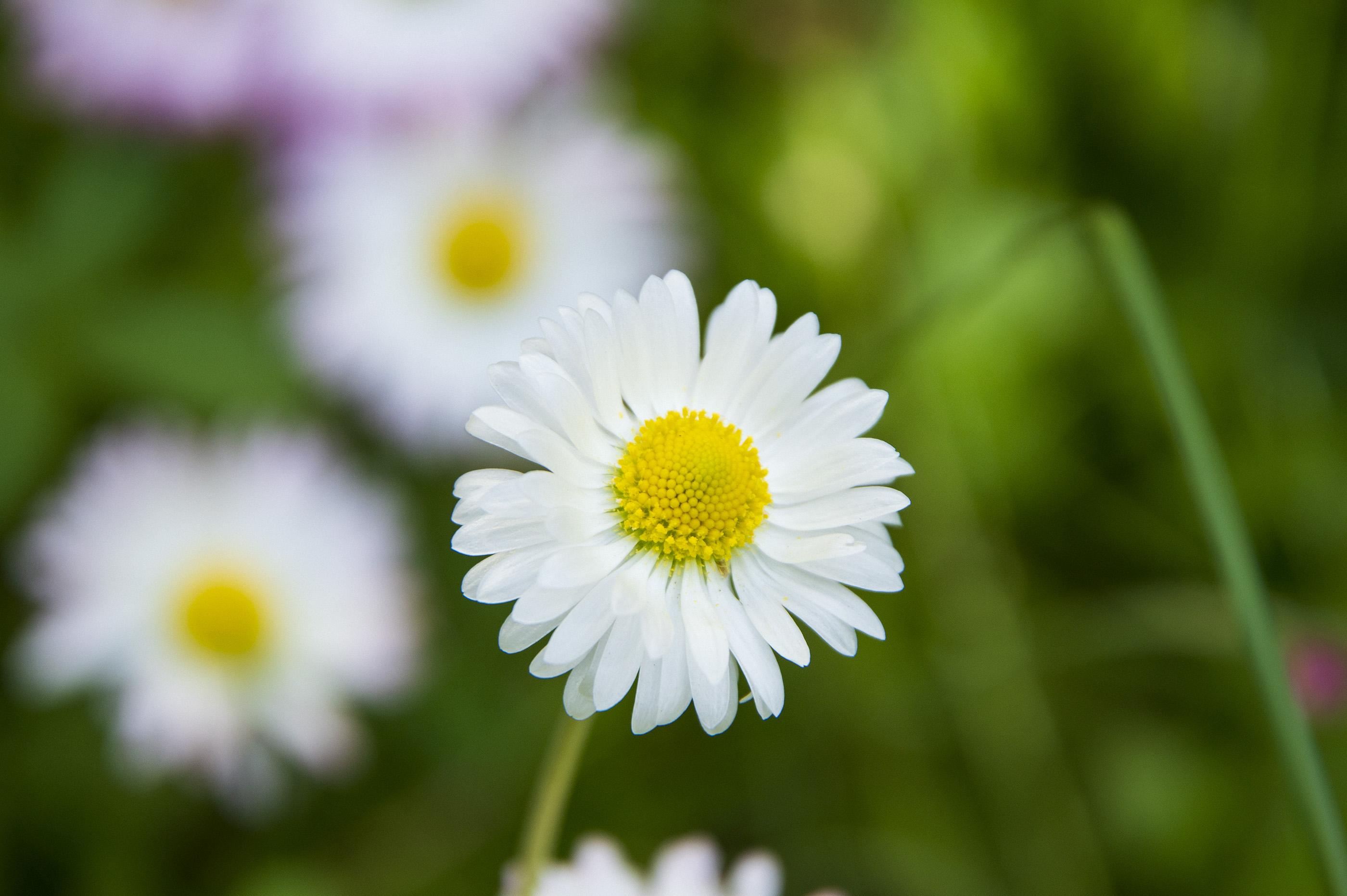Saulutė - pievų gėlė