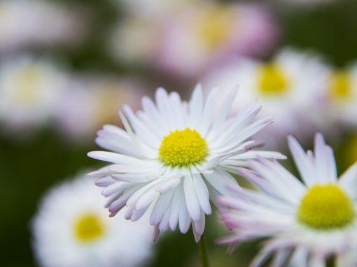 Gėlės nuotrauka. (Pavadinimas: Saulutė)