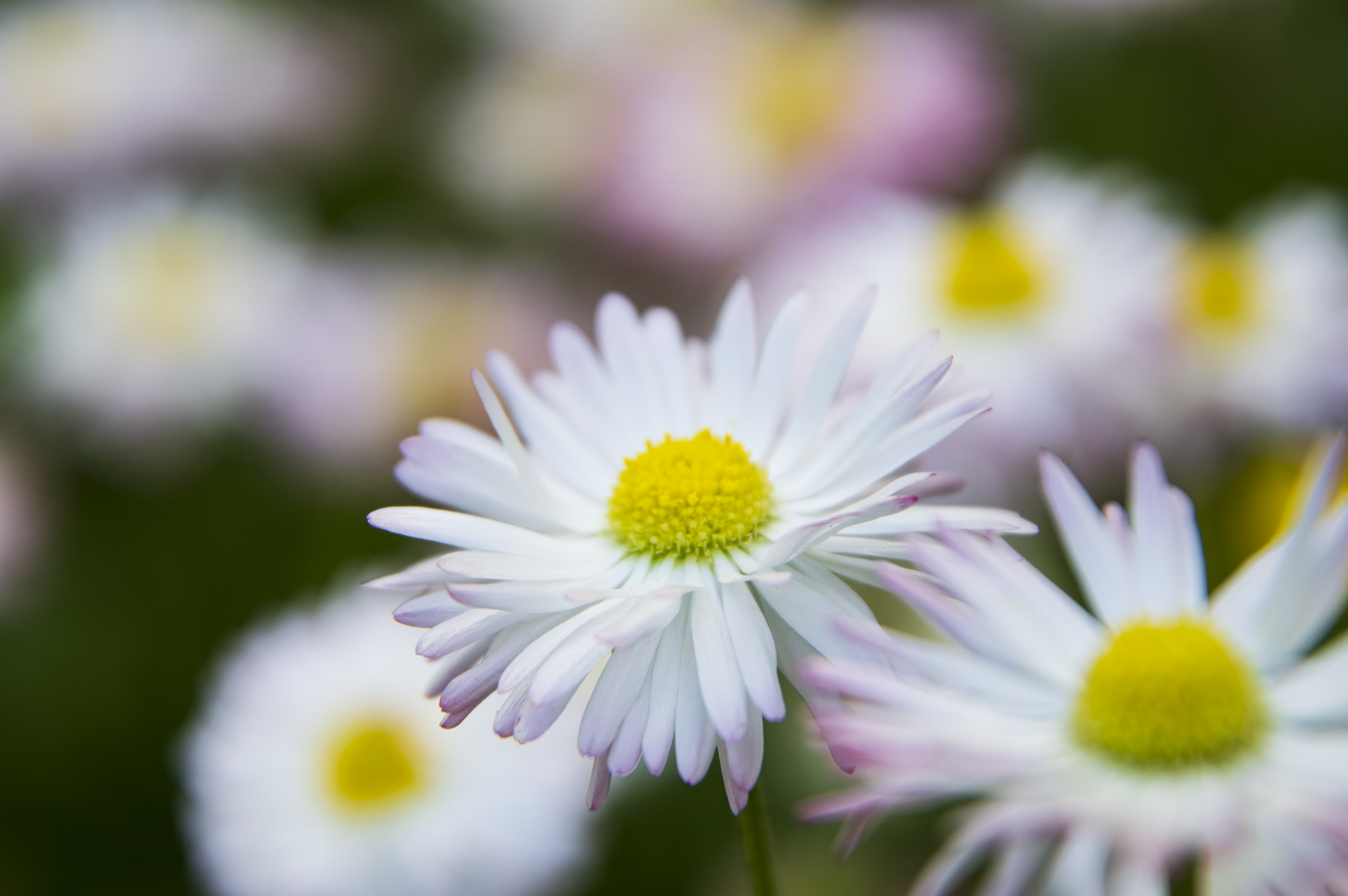 Saulutė (gėlė)