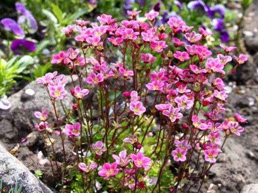 Gėlės nuotrauka. (Pavadinimas: Uolaskėlė)
