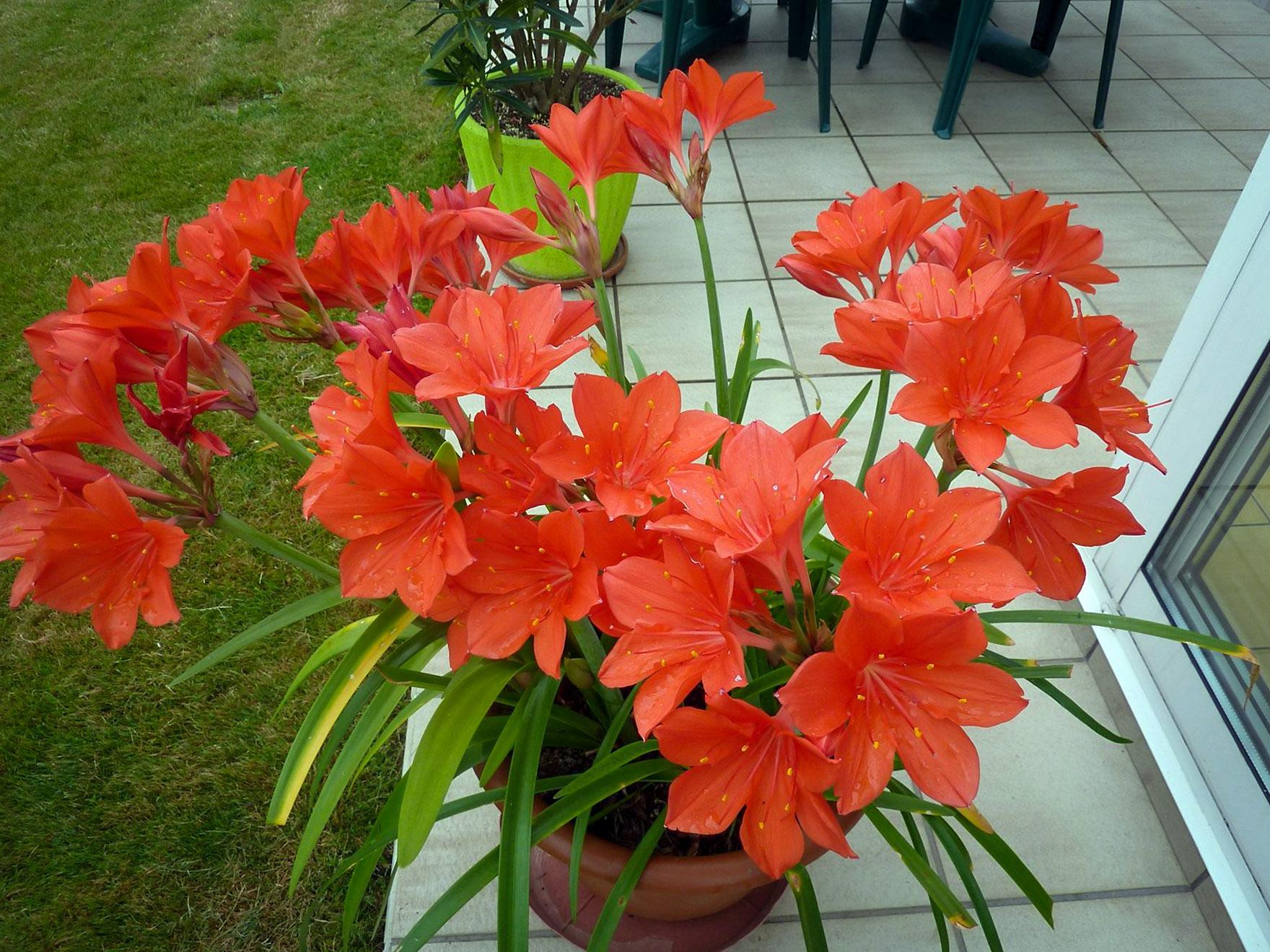 Valotė vazoninė gėlė