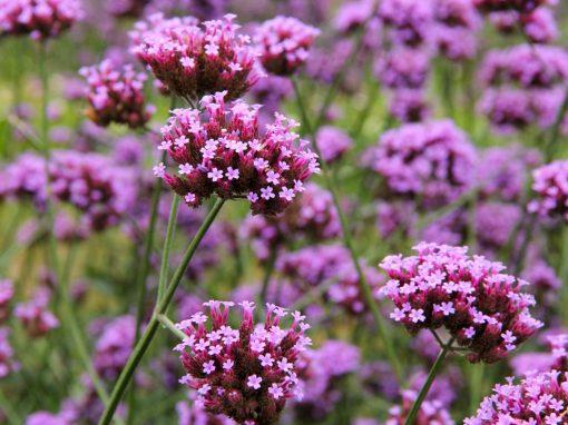 Gėlės nuotrauka. (Pavadinimas: Verbena)