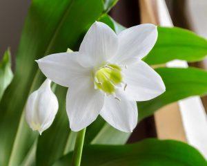 Amazoninė lelija (Gėlė)
