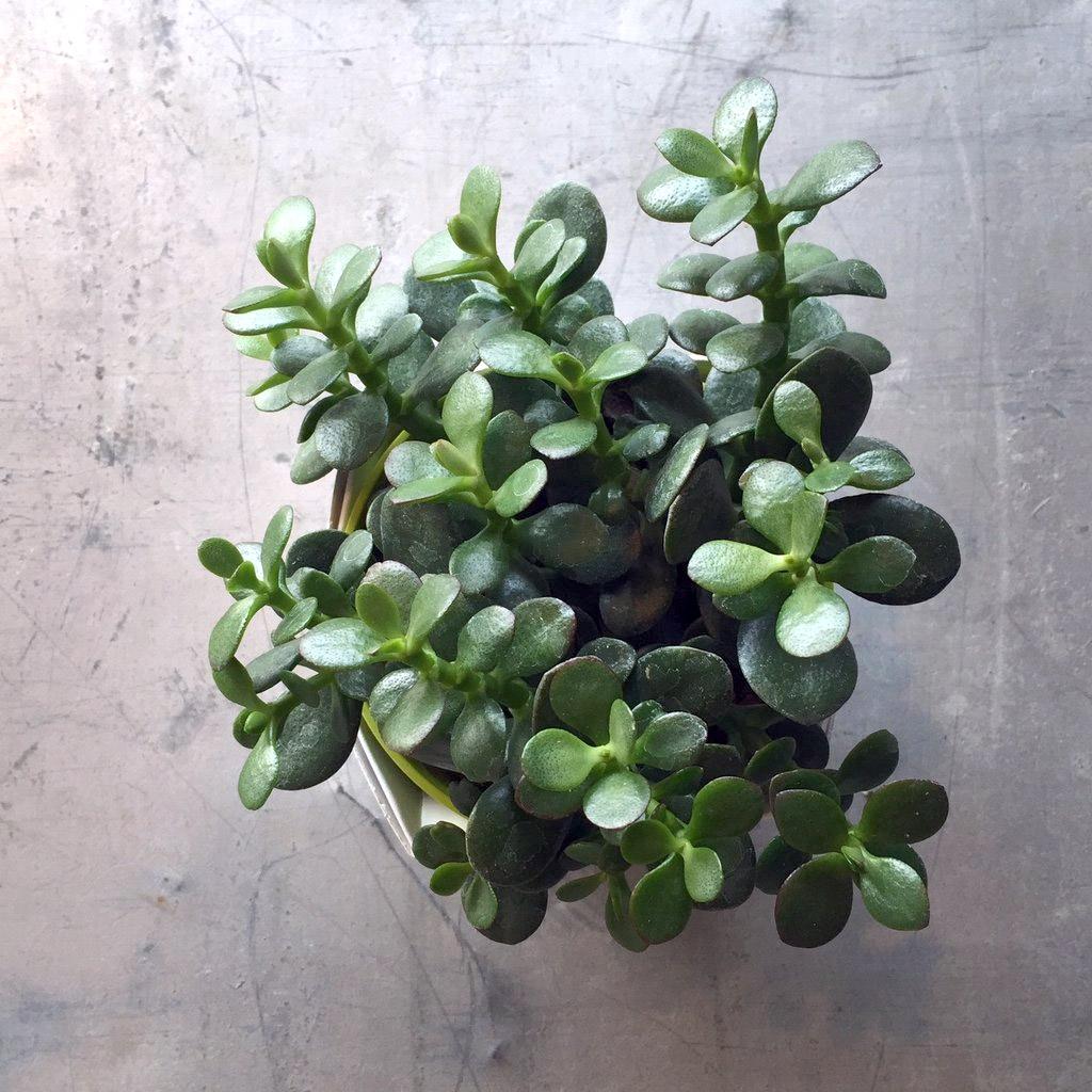 Augalas Storalapis (laimės medelis)