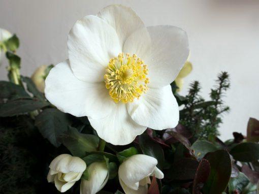 Gėlės nuotrauka. (Pavadinimas: Baltažiedis Eleboras)