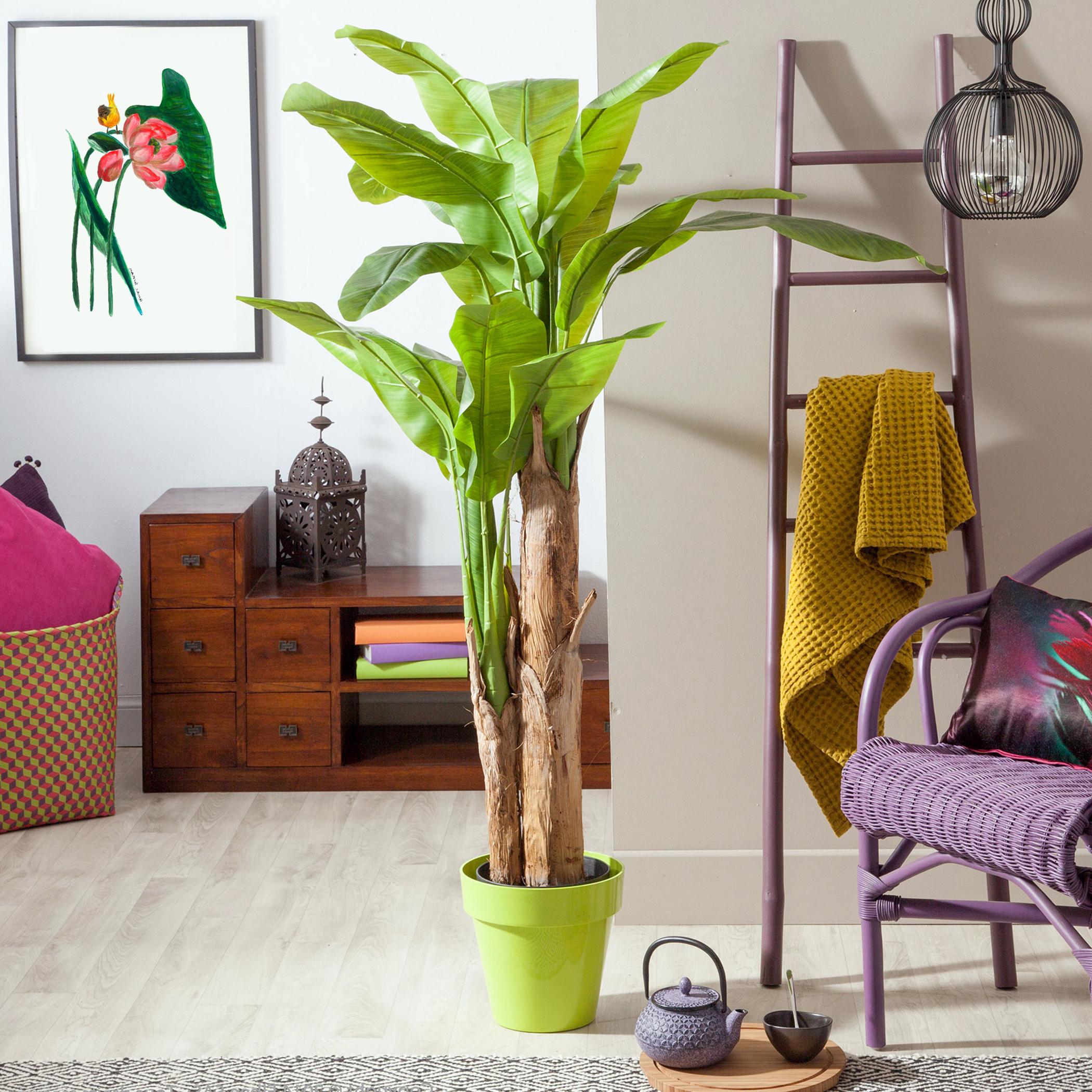 Bananų medis namuose