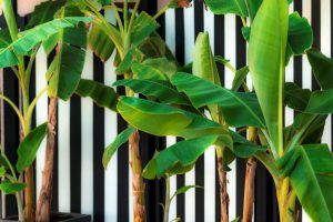 Bananų medžiai