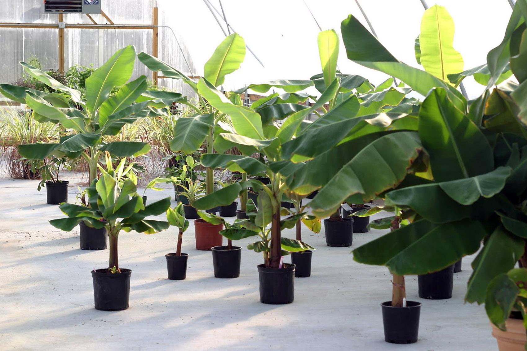 Bananų medžių auginimas lietuvoje