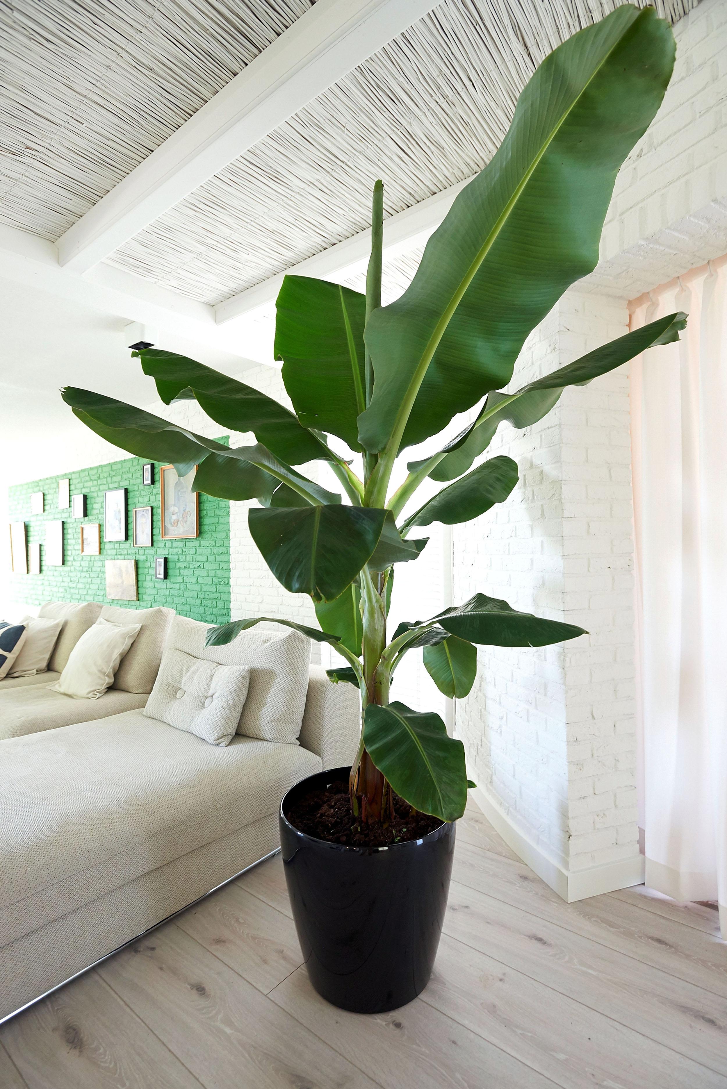 Bananų palmė vazone
