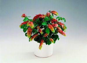 Beloperonė kambarinė gėlė