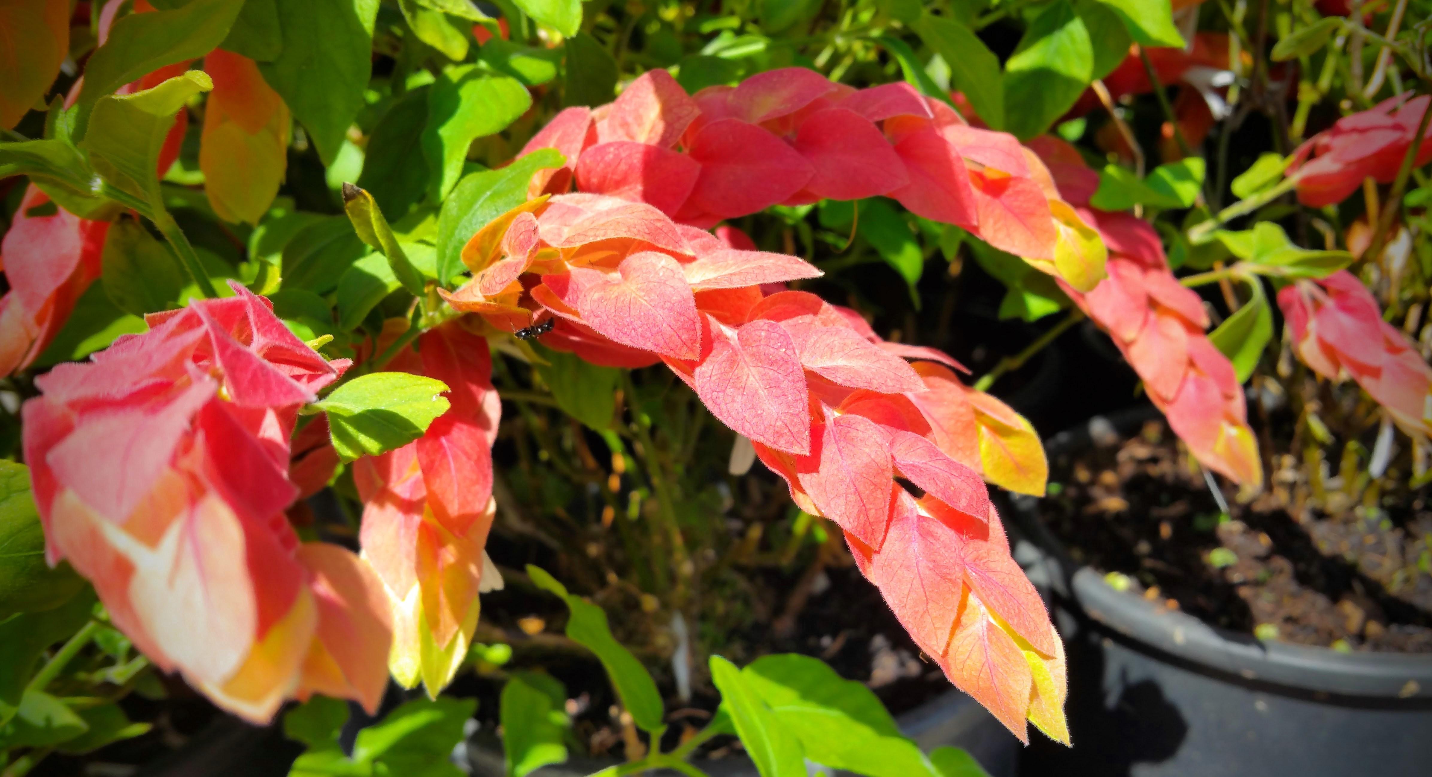 Gėlė beloperonė