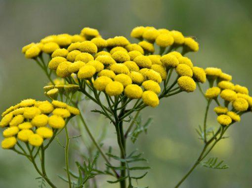 Gėlės nuotrauka. (Pavadinimas: Bitkrėslė)