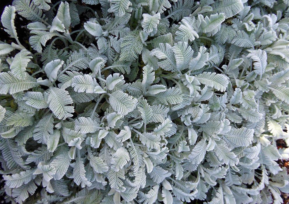 Bitkrėlsė pilkais lapais